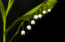 Lily blooms. Little forest Lily blooms in late spring in May royalty free stock photo