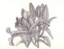 Lily blooms with petals , flower , drawn with black pen , bright Royalty Free Stock Images
