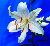 Lily, Blossom, Bloom, Flower, White Royalty Free Stock Images