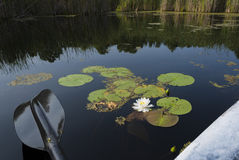 Lily Blossum Next to Kayak Royalty Free Stock Images