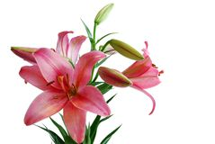 Lily Bouquet Royalty Free Stock Photos