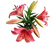 Lily Bouquet. Bouquet of Three Pink Lilies Isolated on White Stock Photography