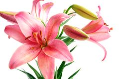 Lily Bouquet. Blooming Lily Bouquet Isolated on White Background Stock Image