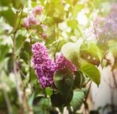 Lily branchin kwiat z pięknymi kwiatami Obraz Stock