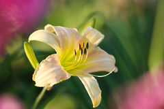 Lily bud. In summer garden Royalty Free Stock Photos