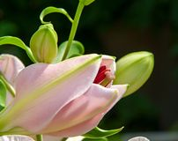 Free Lily Bud Stock Photo - 31217660