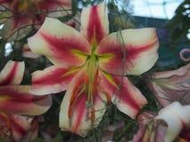 Lily Bud fleurie Les pétales colorés d'une fleur Blanc et rouge photographie stock