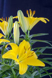 Lily and bud's. Yellow Lily with bud's and green leaf Royalty Free Stock Images