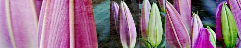 Lily buds collage. Close up of beautiful fresh Lily Buds Royalty Free Stock Photography