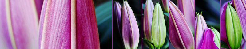 Lily buds collage. Close up of beautiful fresh Lily Buds Stock Photos