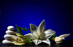 Lily with buds and pile of stones. Beautiful white freshness lily with buds and pile of stones  on black table with bright water drop on blue background Stock Image