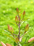 Lily buds. Lily stem with closed buds ready to open soon Stock Photo