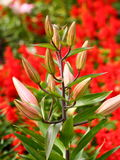 Lily buds. Lily stem with closed buds ready to open soon Stock Photos