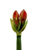 Lily buds. Three lily buds on a single stem Stock Images