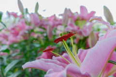 Lily bulb, pink lily flower in garden background Royalty Free Stock Image