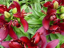 Lily  bush flowers. A  bunch of bright deep red lily set amongst lush green leaves Royalty Free Stock Image