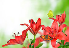 Lily with butterflies Royalty Free Stock Photo