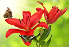Lily with butterflies Stock Images