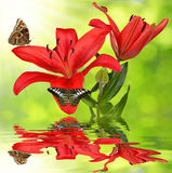 Lily with butterflies Stock Photography
