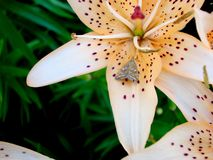 Lily with a butterfly on a flower. royalty free stock photography
