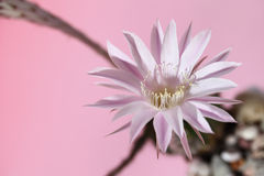Lily cactus, Echinopsis flower on pink  background Royalty Free Stock Photography