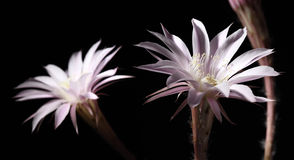 Lily cactus flower on black background Royalty Free Stock Photography