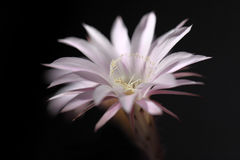 Lily cactus flower on black background Royalty Free Stock Images