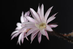 Lily cactus,flower on black background Stock Photos