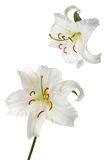 Lily Casablanca. White lily Casablanca isolated on white background Royalty Free Stock Image