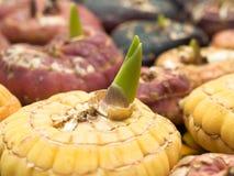 lily cebul sprout Zdjęcia Royalty Free