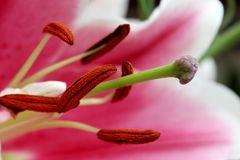 Lily really close royalty free stock images