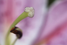 Lily close up. Carpel and stamen of a lily close up Stock Photography