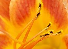 Lily close-up. An orange lily macro shot royalty free stock photo