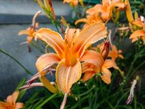 Lily close up stock photo