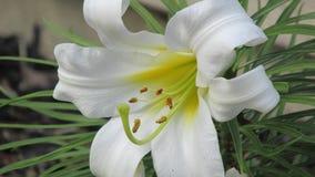Lily Closeup blanca imagen de archivo libre de regalías