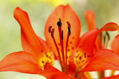 Lily Closeup en bois Photo libre de droits