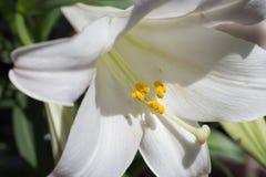 Lily closeup Stock Photo