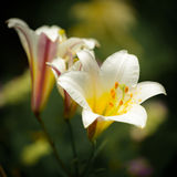 Lily. Closeup of white Lilium longiflorum (Easter lily Stock Image