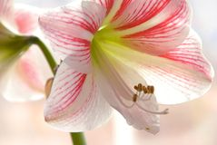 Lily closeup Stock Images