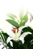 lily copyspace white Obraz Stock