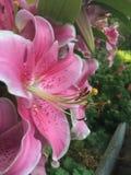 Lily& cor-de-rosa x27; s Fotos de Stock