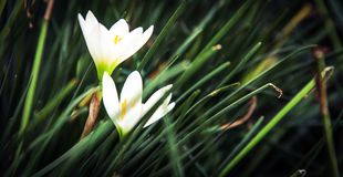 The Lily couple Royalty Free Stock Photography