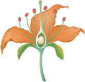 Lily cross-section. Flower parts cross section of tiger lily Stock Image
