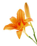 Lily or daylily isolated Royalty Free Stock Photography