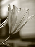lily deszcz Obraz Stock