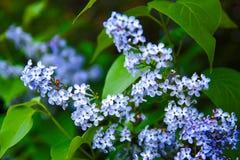Lily drzewo kwitnie na unfocused tle G?sty krzak w kwiacie zdjęcie royalty free