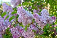 Lily drzewo - Syringa fotografia stock