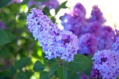 Lily drzewo - Syringa obraz stock