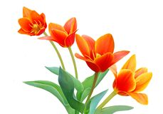 Lily family. Tulipa Kaufmanniana or Liliaceca in the spring Royalty Free Stock Image