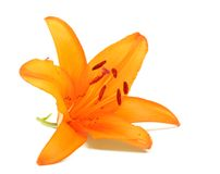 Lily flower Stock Images